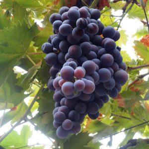 Champanel Grape