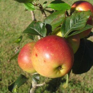 Ein-Shemer Apple
