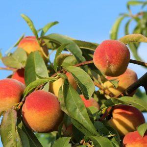 Redskin Peach