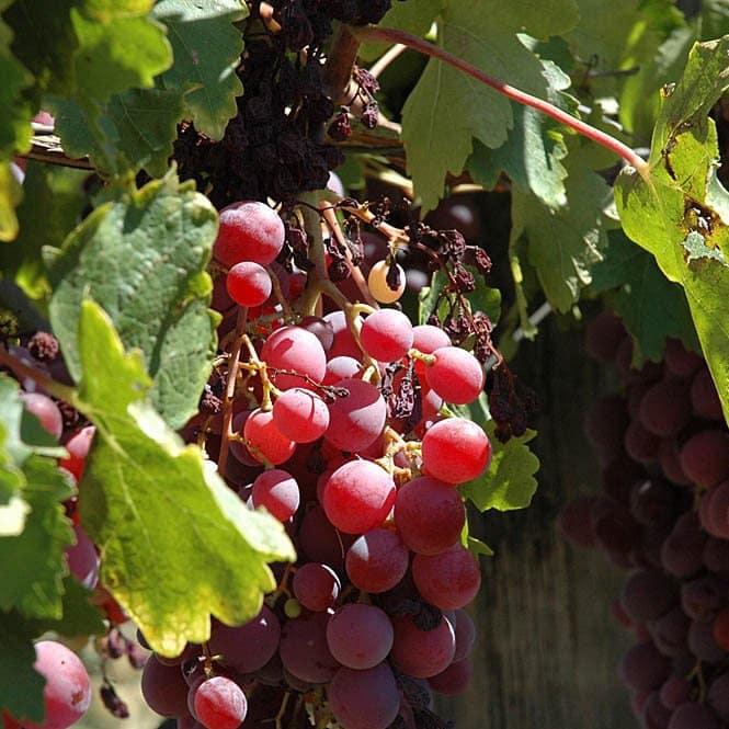 Reliance Grape