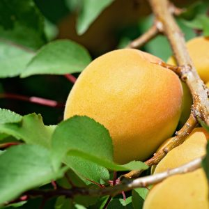 Royal Apricot